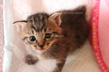 上を向く子猫の素材 [FYI00435179]