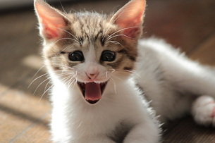 すごい顔であくびをする猫の写真素材 [FYI00435185]