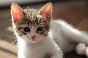 すまし顔の子猫の素材 [FYI00435186]