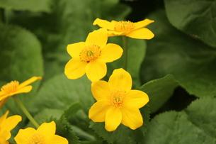 黄色の小花発見の写真素材 [FYI00435199]