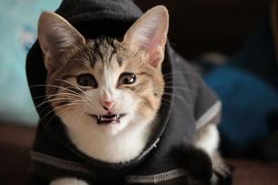 猫の怖いあくび顔の写真素材 [FYI00435215]