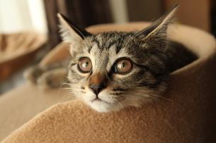 見つめる猫の素材 [FYI00435218]