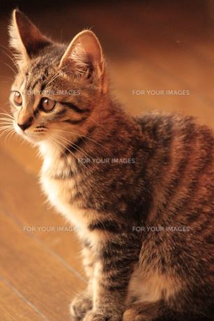 おすまし猫の素材 [FYI00435220]