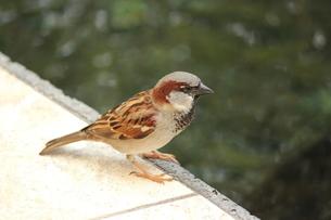ハワイの雀さんの素材 [FYI00435222]