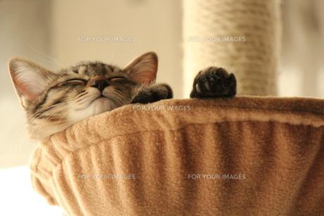 ハンモックでスヤスヤしている子猫の写真素材 [FYI00435224]