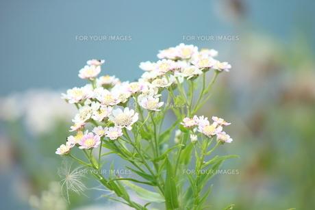 白い花の素材 [FYI00435237]