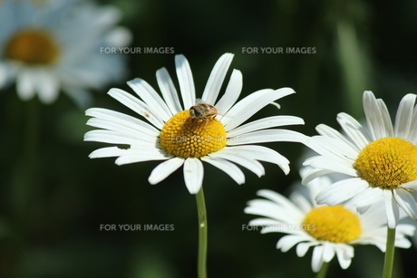 花と蜂の素材 [FYI00435241]