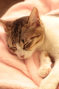 眠る猫の素材 [FYI00435246]