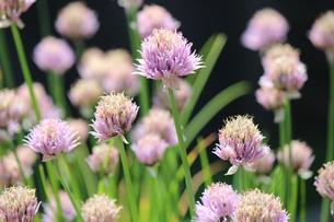 淡い紫の小花の素材 [FYI00435251]