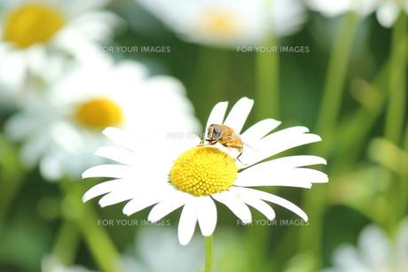 蜂の毛づくろいの写真素材 [FYI00435252]