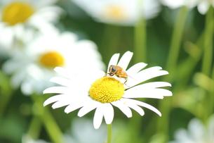蜂の毛づくろいの素材 [FYI00435252]