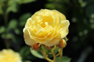 一輪の黄色のバラの素材 [FYI00435253]