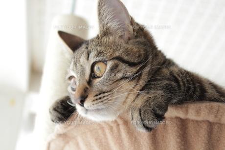 ハンモックから顔を出す猫の写真素材 [FYI00435255]