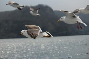 海の上を飛ぶ鳥たちの素材 [FYI00435256]
