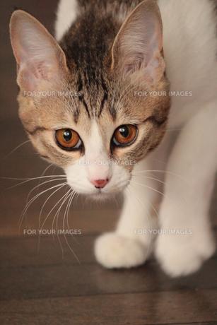 忍び足の猫の素材 [FYI00435262]