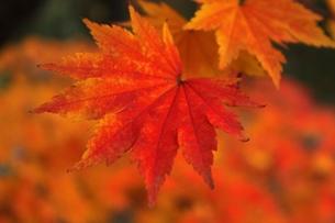 秋の紅葉の素材 [FYI00435263]