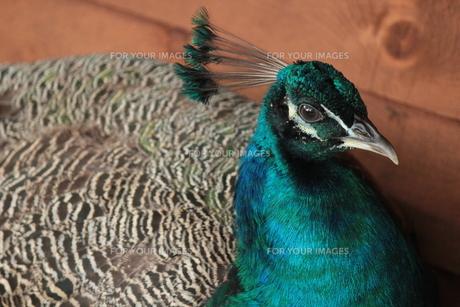 美鳥の写真素材 [FYI00435264]