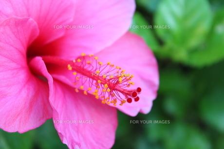 ハイビスカスの花の素材 [FYI00435271]
