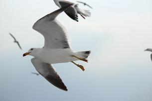 飛んでいる鳥の素材 [FYI00435284]