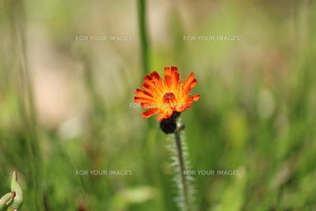散歩中に見つけた小さな花。の素材 [FYI00435288]