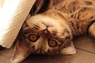 寝転ぶ猫の素材 [FYI00435289]