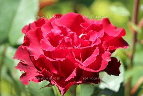 赤いバラの素材 [FYI00435299]