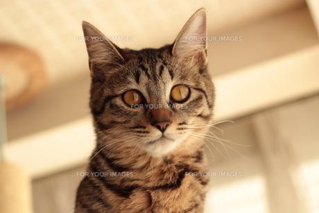 室内飼いの猫の素材 [FYI00435302]