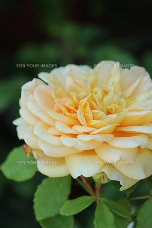 黄色のバラの素材 [FYI00435314]