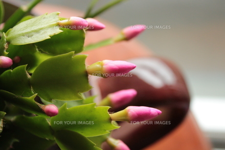サボテンの花のつぼみの素材 [FYI00435316]