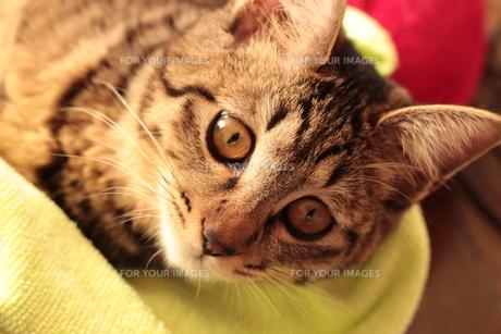 寝転がって遊ぶ猫の素材 [FYI00435321]