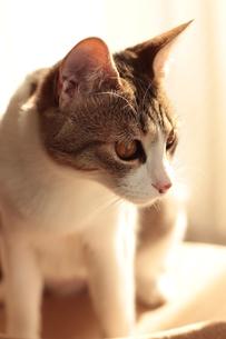 真剣顔で狙いを定めていく猫の素材 [FYI00435323]