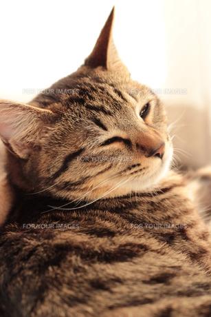 眠そうな猫の素材 [FYI00435325]