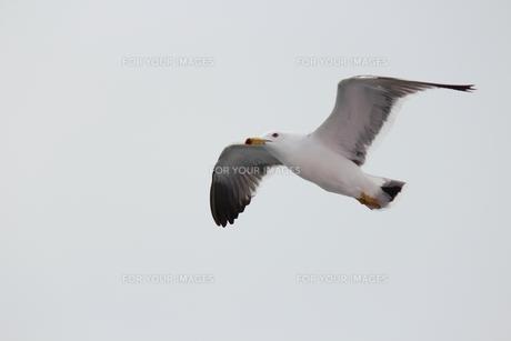 飛ぶ鳥の素材 [FYI00435326]