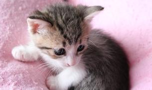 ふわふわのうえでご満悦の子猫の素材 [FYI00435330]