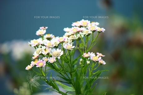 知床の森の中に見つけた小さな花の素材 [FYI00435332]