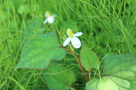 青々した中に、白い花が咲いていました。の素材 [FYI00435333]