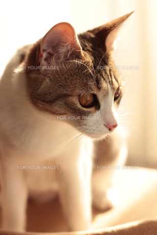 何かを狙うように見つめる猫の素材 [FYI00435338]