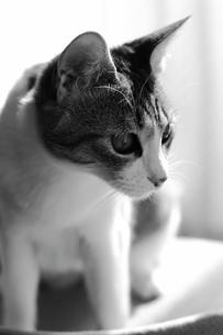 狙いを定める猫、モノクロ写真の素材 [FYI00435340]