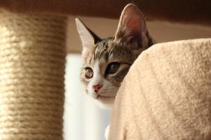 キャットタワーで様子見する猫の素材 [FYI00435342]