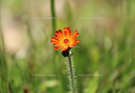オレンジ色の小さな花の素材 [FYI00435345]