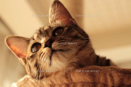 見上げる猫の素材 [FYI00435347]