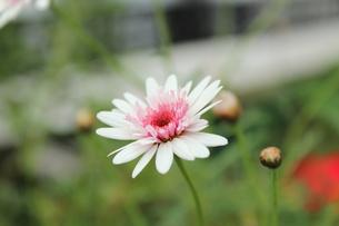 白い小さなかわいい花を見つけました。の素材 [FYI00435353]