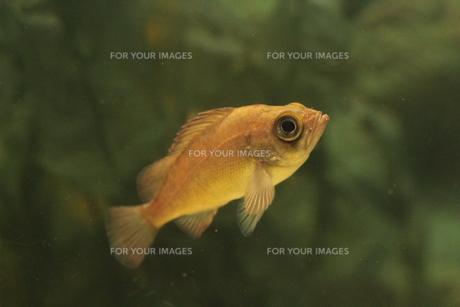 泳いでいる魚の素材 [FYI00435354]