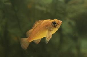 泳いでいる魚の写真素材 [FYI00435354]
