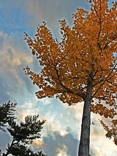 秋の訪れ、イチョウの黄葉の写真素材 [FYI00435358]
