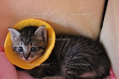 結膜炎のためエリザベスカラー着用の子猫の素材 [FYI00435359]