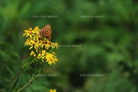 花に止まる蝶々の素材 [FYI00435361]