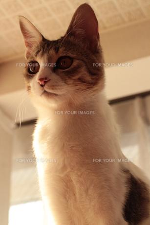 置物みたいに座る我が家の猫の素材 [FYI00435378]