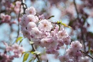 北海道で見る桜の素材 [FYI00435388]