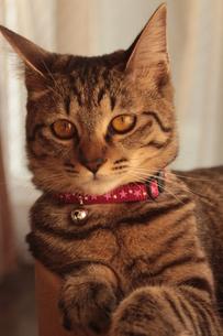 貫禄がある猫の素材 [FYI00435390]